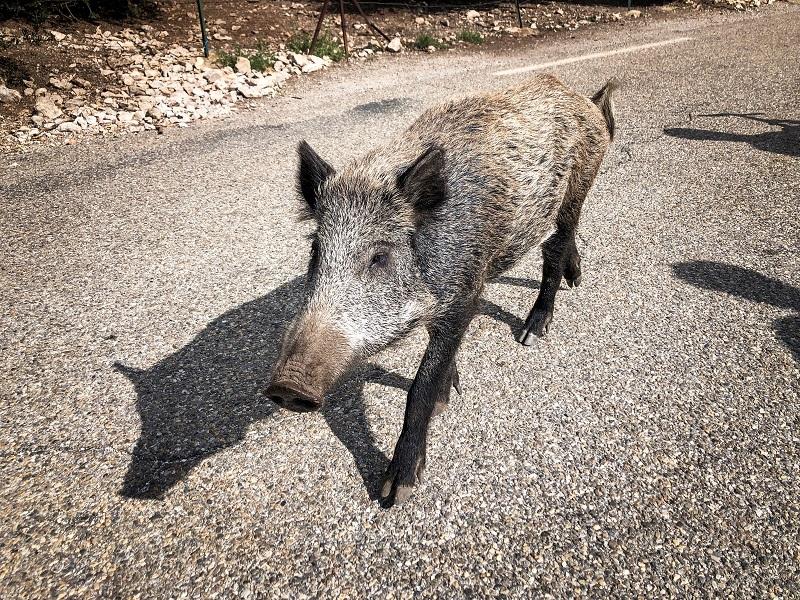 Wildschwein im Gorge de las Nesque